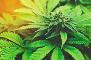 Medical Marijuana and Parkinson's disease   APDA