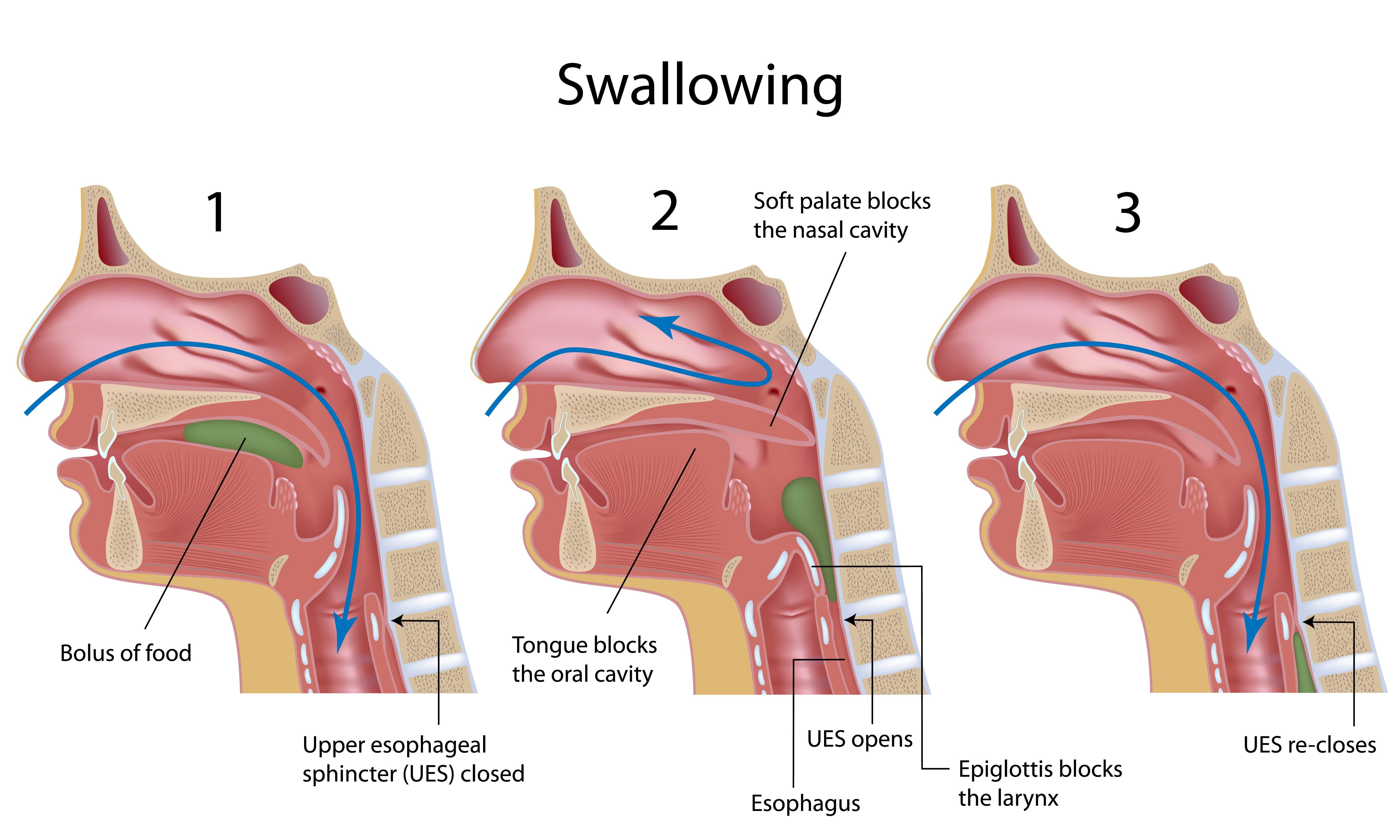 Swallowing Reflex  Labeled